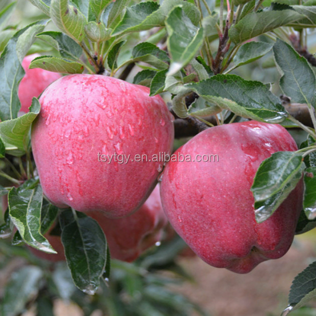 Chinese Huaniu Apple Fresh Red Delicious Apple Fruit