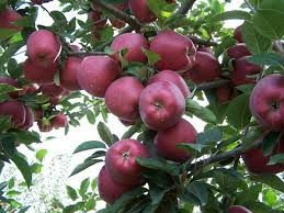 2012 New Season Red Chief Apple