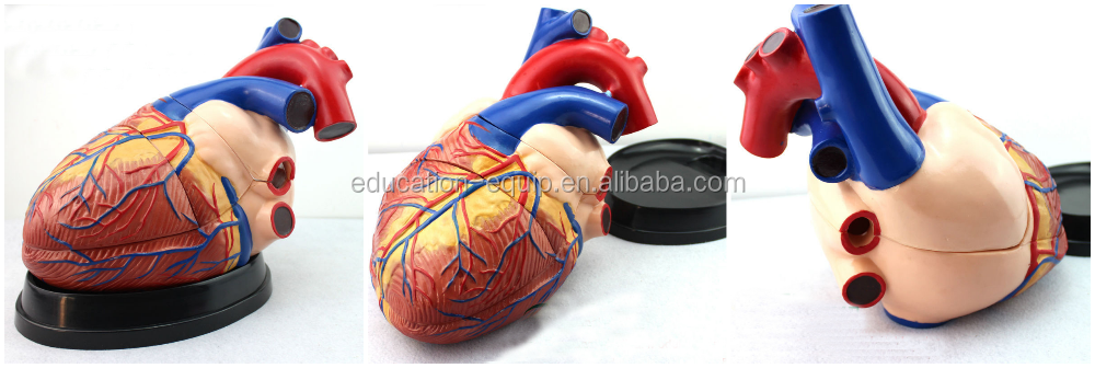 SE32669 4 Time Life Size 3 Part Dissected Jumbo Anatomical Model Human Heart
