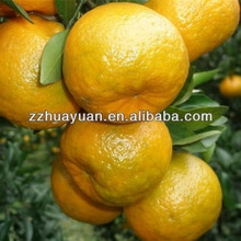 Fresh YongChun Mandarin orange(kino)
