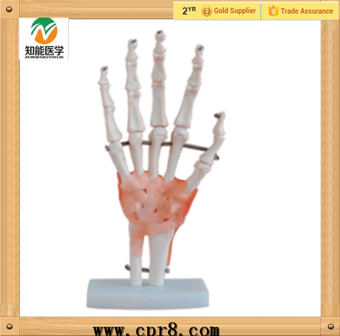 BIX-A1021 Life size hand joint skeleton anatomical model with artificial ligaments