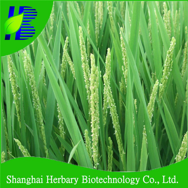 2017 Hot sale rice seed for growing