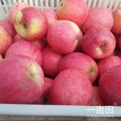 Chinese fresh fruits red delicious fuji apples