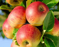 Malus Domestica Apple Extract polyphenol Apple Extract