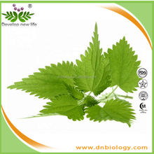 nettle leaf extract in herbal , Urtica Cannabinaa L,Sting Nettle root