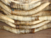 Raw Cow Horns in Nigeria