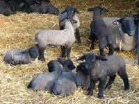 Lambs Live Animals - ready to export
