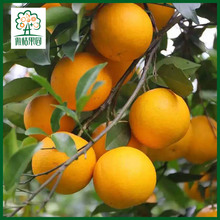 Citrus kinnow kinno mandarin citrus fruit fresh orange