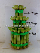 Nursery sold directly 2 layers to 8 layers towers / ties Dracaena Sanderiana (Lucky bamboo)
