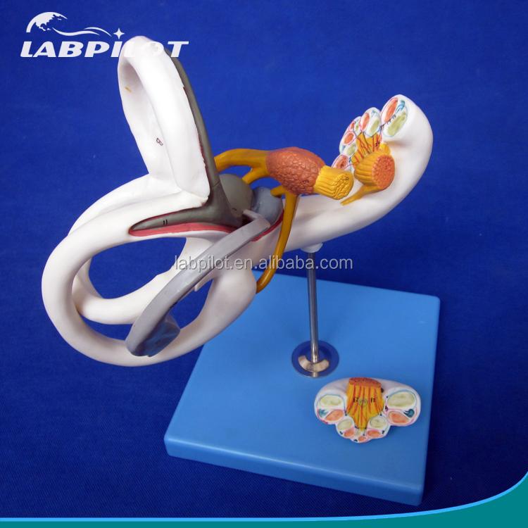 Médico humano biológica 3d oído modelo de enseñanza laberinto ...