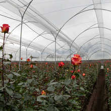 poly greenhouse tunnel for roses/ vegetable/fruits