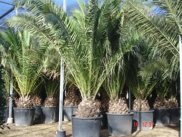 Phoenix Canariensis palm tree