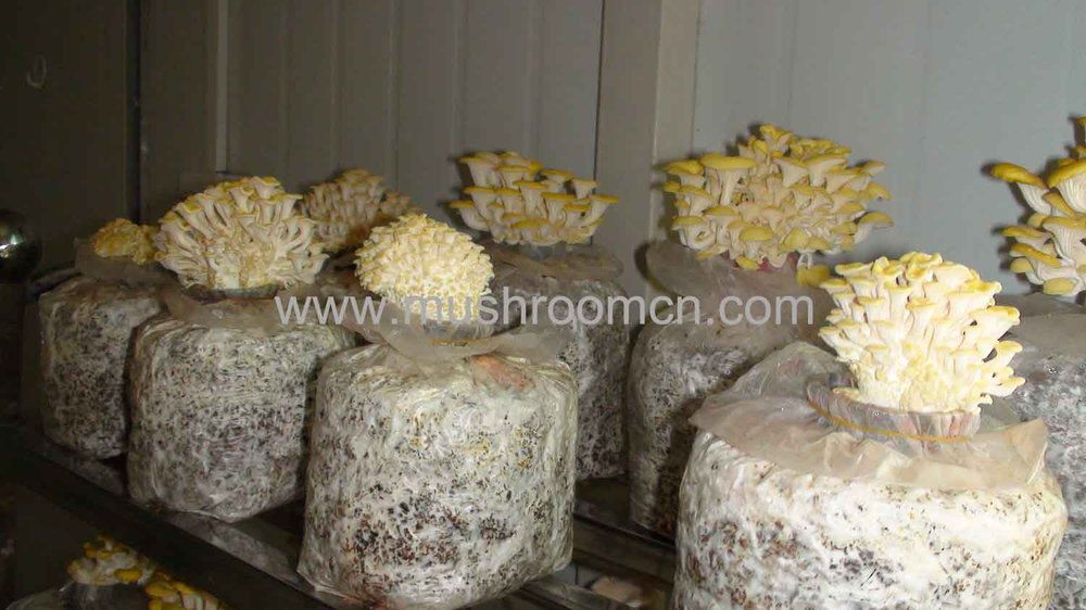 700 to 900 gram yield golden oyster mushroom growing kits