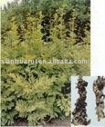 Black cohosh P.E.(KOSHER certificated)