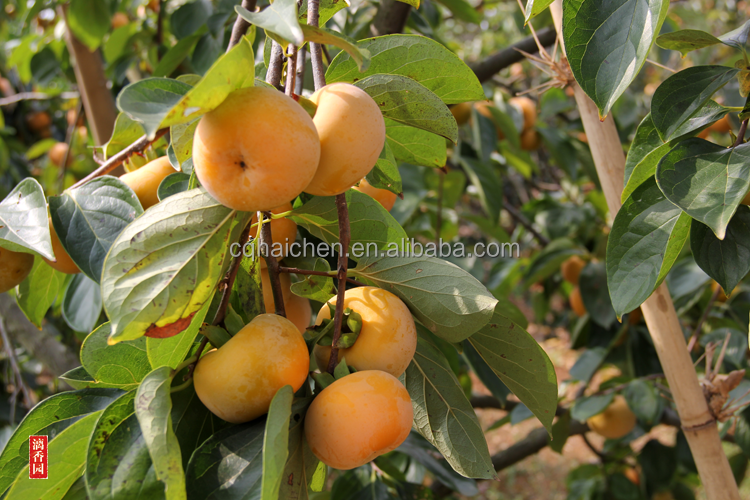 Professional Fruit Supplier Chinese fresh persimmon fruits for sale