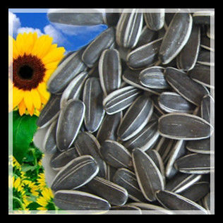 Sunflower kernel 5009 type , best quality for sale