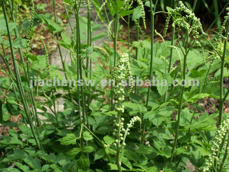 Natural Cimicifuga Racemosa/Cohosh Extract Powder 2.5% With Best Price
