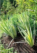 tropical plants : Iris pallida aureovariegata