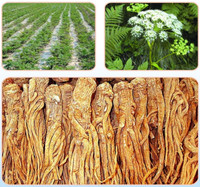 Raw medicine material Traditional Chinese herbal Medicine Angelica sinensis