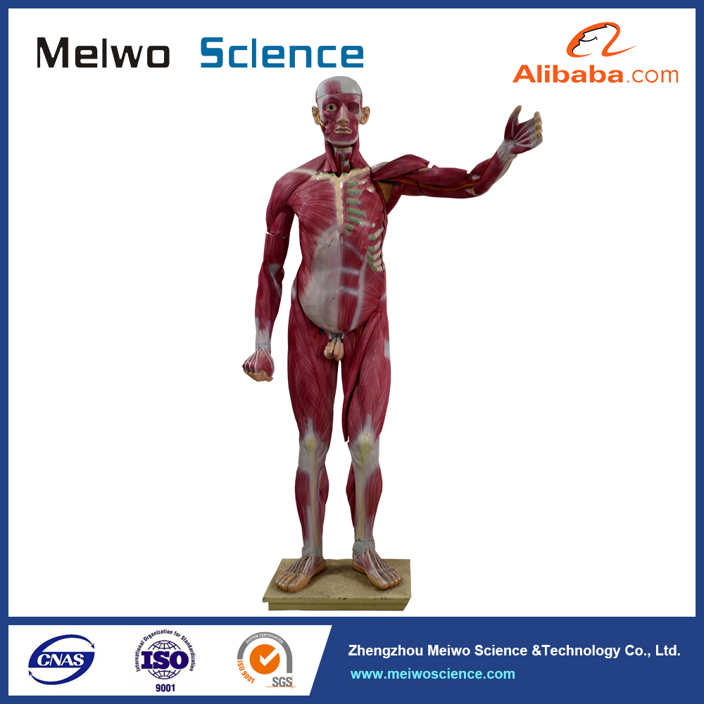 Anatomical model of muscles in whole human body 25 parts for school teaching