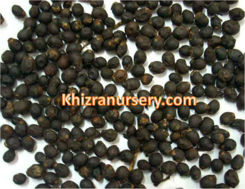 Royal Palm Tree Seeds Suppliers