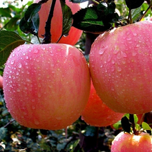 Export fresh apple fruit price