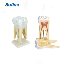 Dental Teaching/Study Model,Human Teeth Model,Dental Education Models