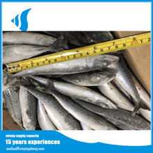 hot sale seafood frozen whole round pacific mackerel fish for canned food