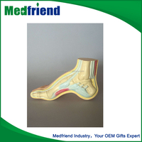 MFM0152 Factory Price Arched Foot Anatomical Model