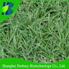High germination rate biscuit grass seeds for sandy coastal areas
