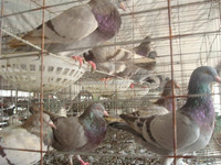New style Good supply pigeon metal cages racing pigeon cage