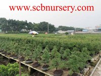 Bonsai nursery plant supplier from china