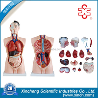 male XC-201 medical science lab kit human organs model for kids teaching