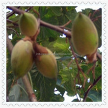 Chinese paulownia tomentosa seeed for planting