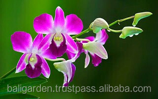 fresh cut orchids dendrobium orchids wholesale