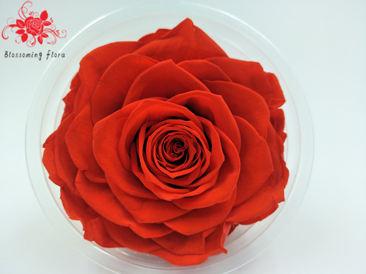 Real Natural Preserved Long Lasting Roses for Valentines Day