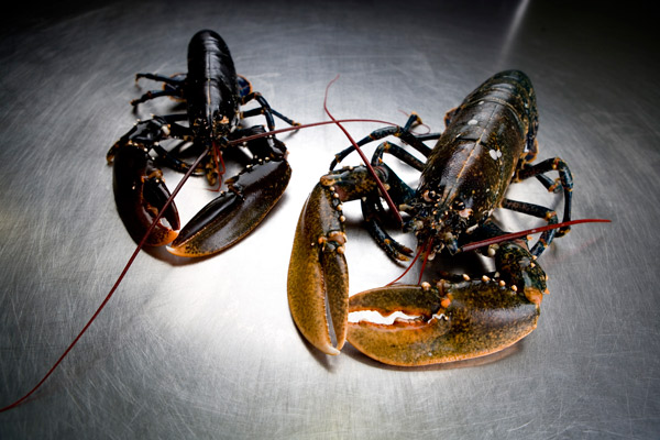 Live Atlantic lobsters | Frozen lobster tails