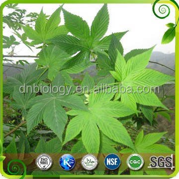 Health care product blackberry leaf powder hot sell product sweet tea extract in tea extract