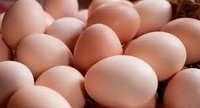 Quality Organic Fresh Chicken Table Eggs & Fertilized Hatching Eggs at whole sale prices