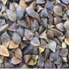 Qiao mai Top quality low priced dried buckwheat