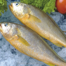 Good quality Frozen Wild Catching Yellow Croaker Fish