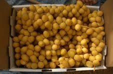 Barhi Fresh Dates on stems from Saudi Arabia