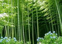 Phyllostachys heterocycla (Carr.) Mitford cv. Pubescens & bamboo