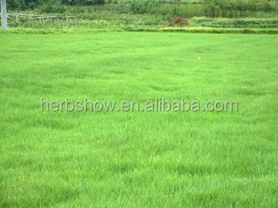 Bermuda grass seed with high quality