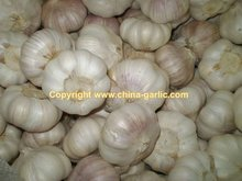 fresh garlic specification