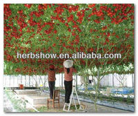 Best Tomato Tree Seeds