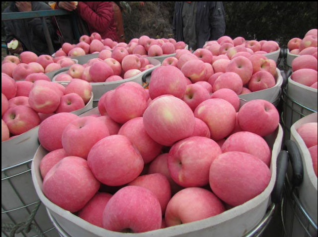 wholesale fuji apple with high quality