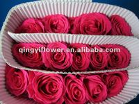 Wholesale fresh cut rose flower rose peach rose from Kunming Qingyi