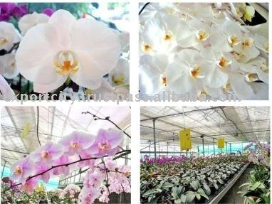 Phalaenopsis Orchid Plants flowers bloom & no flowers (CM)