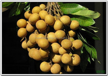 Home/Garden fruit tree Dimocarpus longan fruit seedling